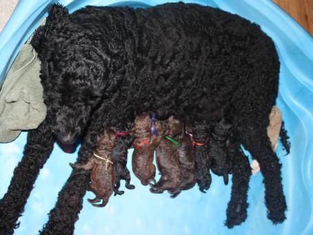 Sapphire Puppies 2009