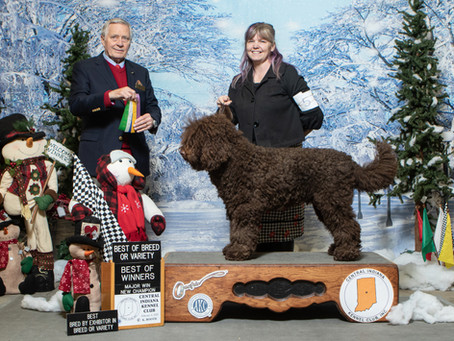 First Biscay Barbet AKC Champion (and CAN/AM Champ)