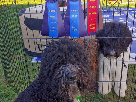 First Biscay Barbet to earn a Barn Hunt Title
