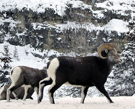 sheep5.JPG