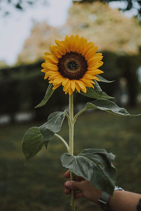 person-holding-yellow-sunflower-1624076.
