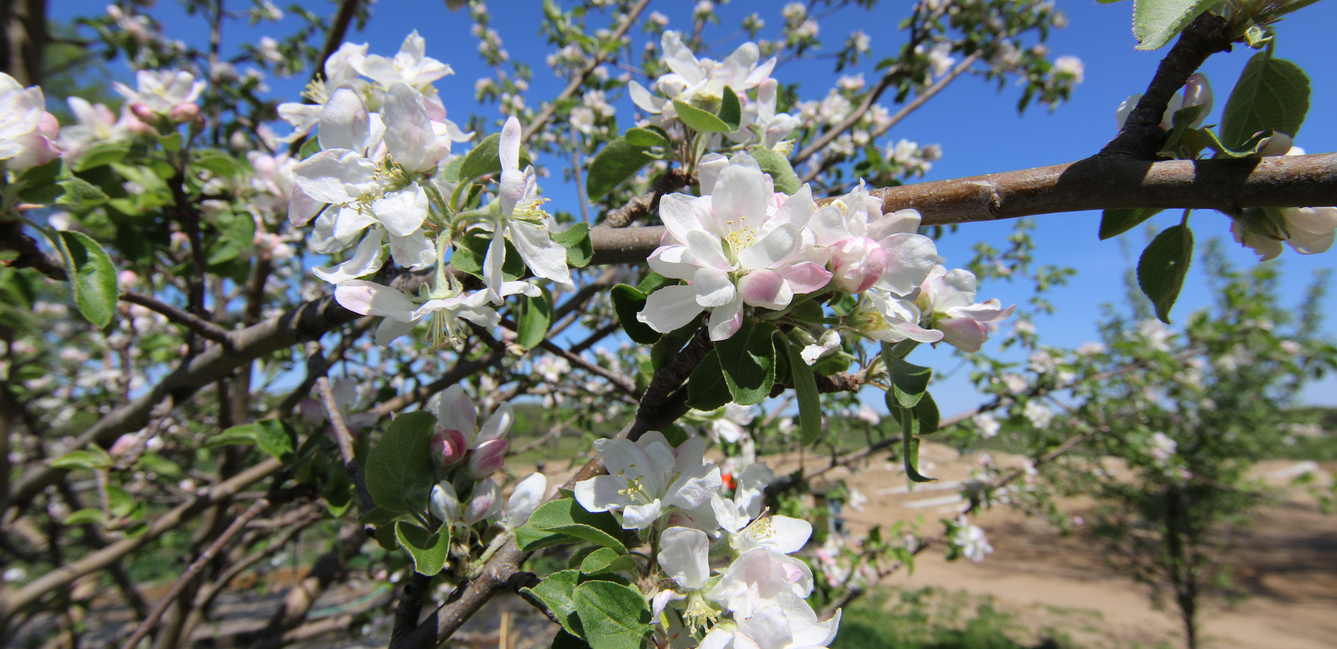 Apple Blossum1581.JPG