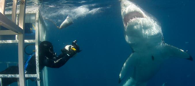 Spirit of California SHARK DIVE
