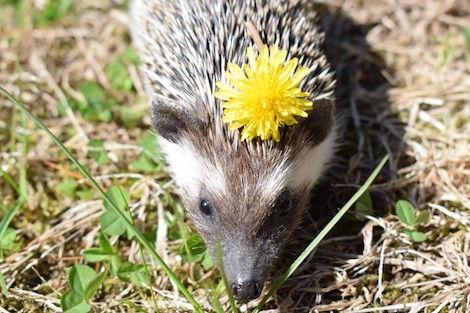 hedgehog with dandelion_Jules Hazen copy