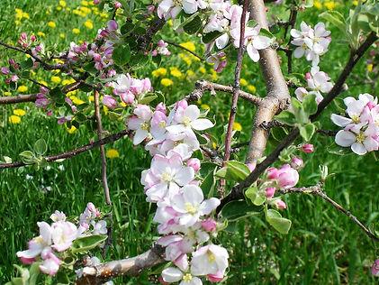 Apple-Blossoms-DSCN2530.jpg