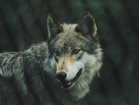 Cool Things about Wolves