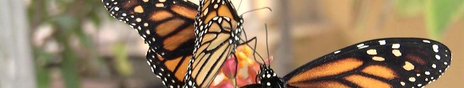 Free Butterflies 2.jpg