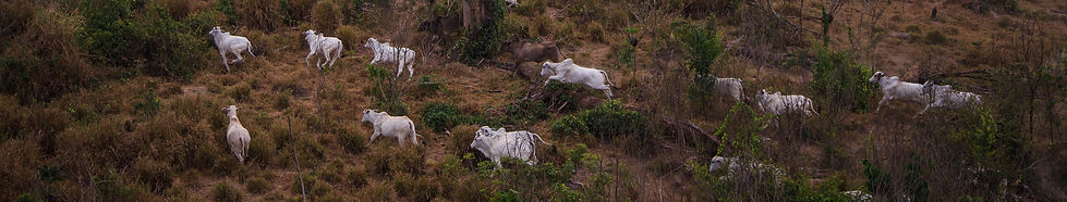 Grazing the Amazon2.jpg
