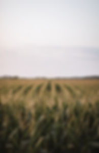 Corn dream.jpg