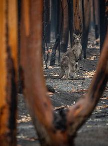 A surviving kangaroo.jpg