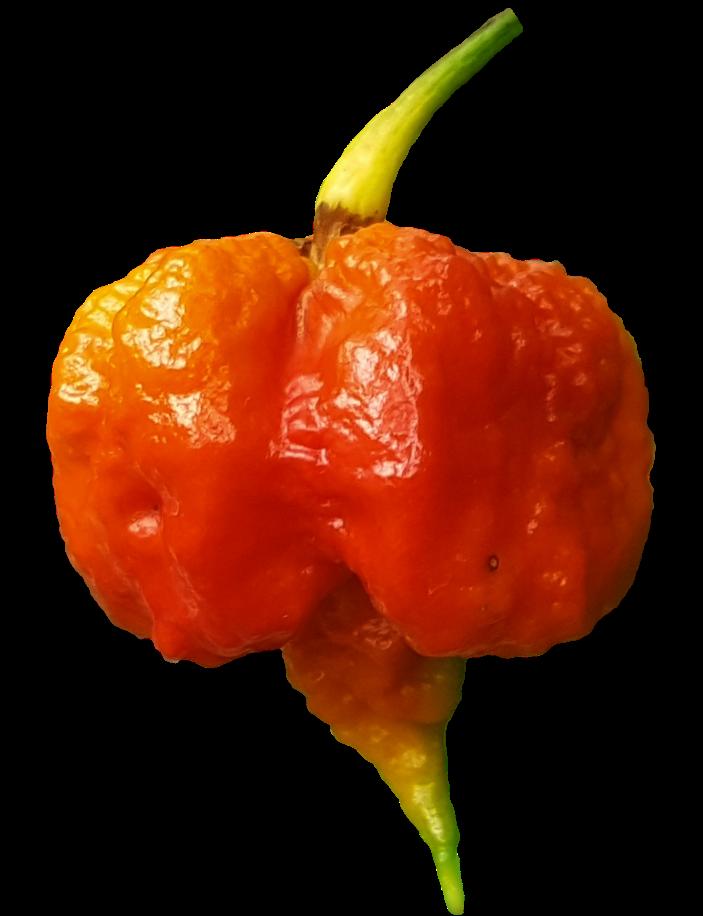 Carolina Reaper - The Hottest Pepper in the World