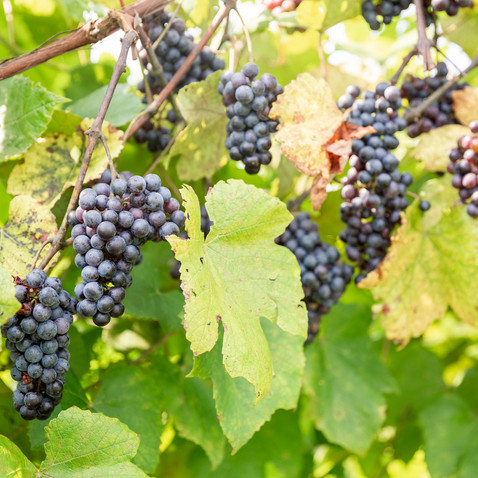 CountyLine Vineyard & Venue