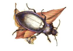 Violet beetle