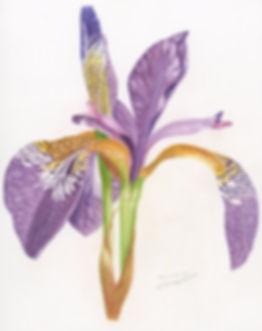 Iris sibirica by Carolyn Bischoff
