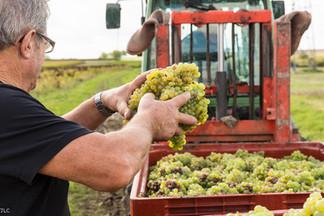 Vendanges de la coopérative de vignerons Robert et Marcel.