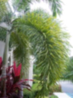 foxtail Palm .JPG