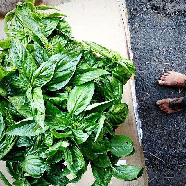 Genovese Basil for _chanterelletogo Walnut Pesto #farmtofreezer #smallfarm #organic #summertime #her