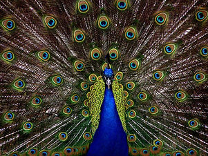 blue-and-green-peacock-50557.jpg