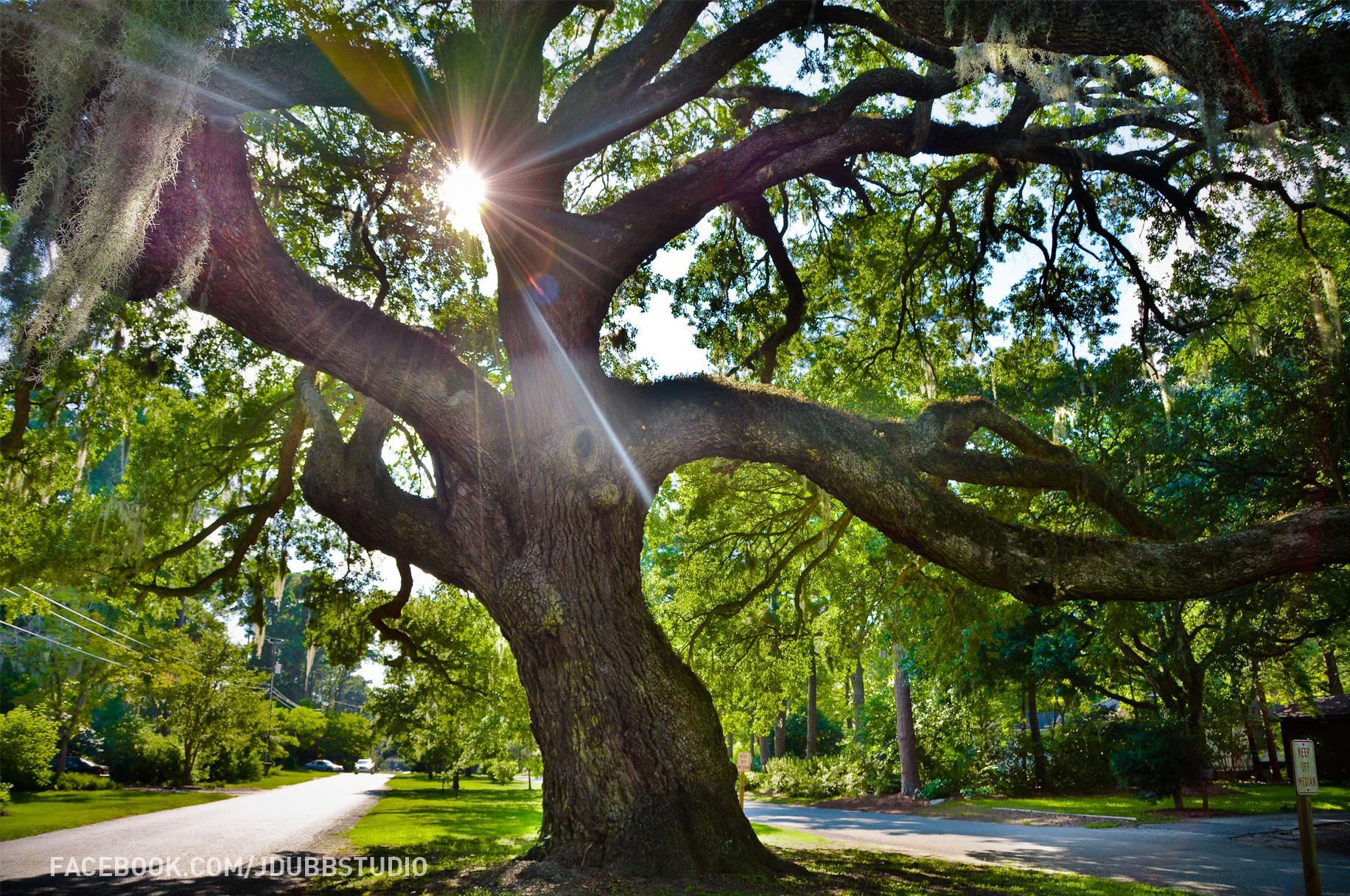 Oak of Life