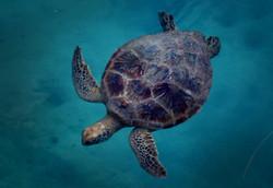 Vanuatu Sea Turtle