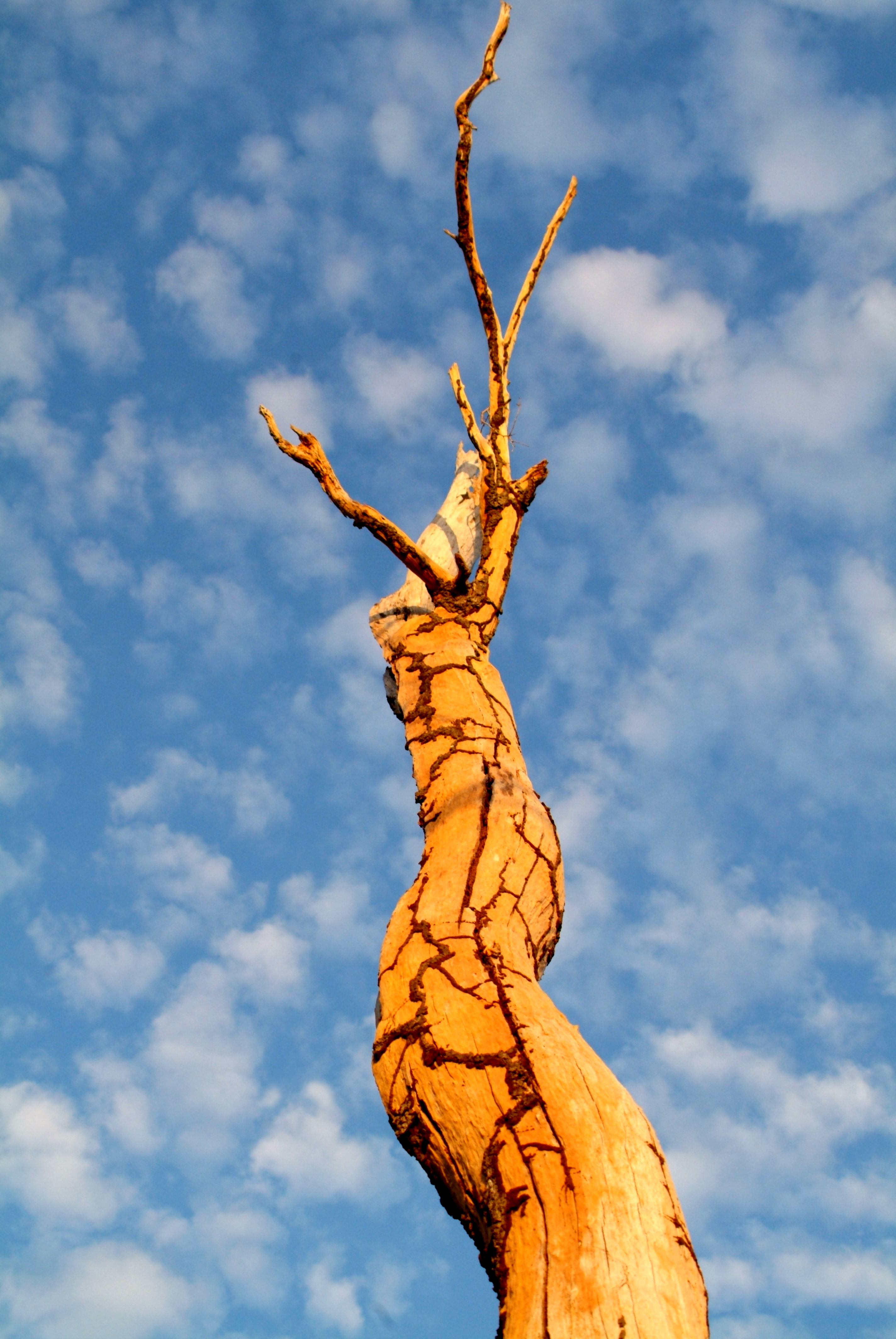 Point Stuart Termite Tree