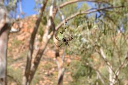 Alice Springs Spider