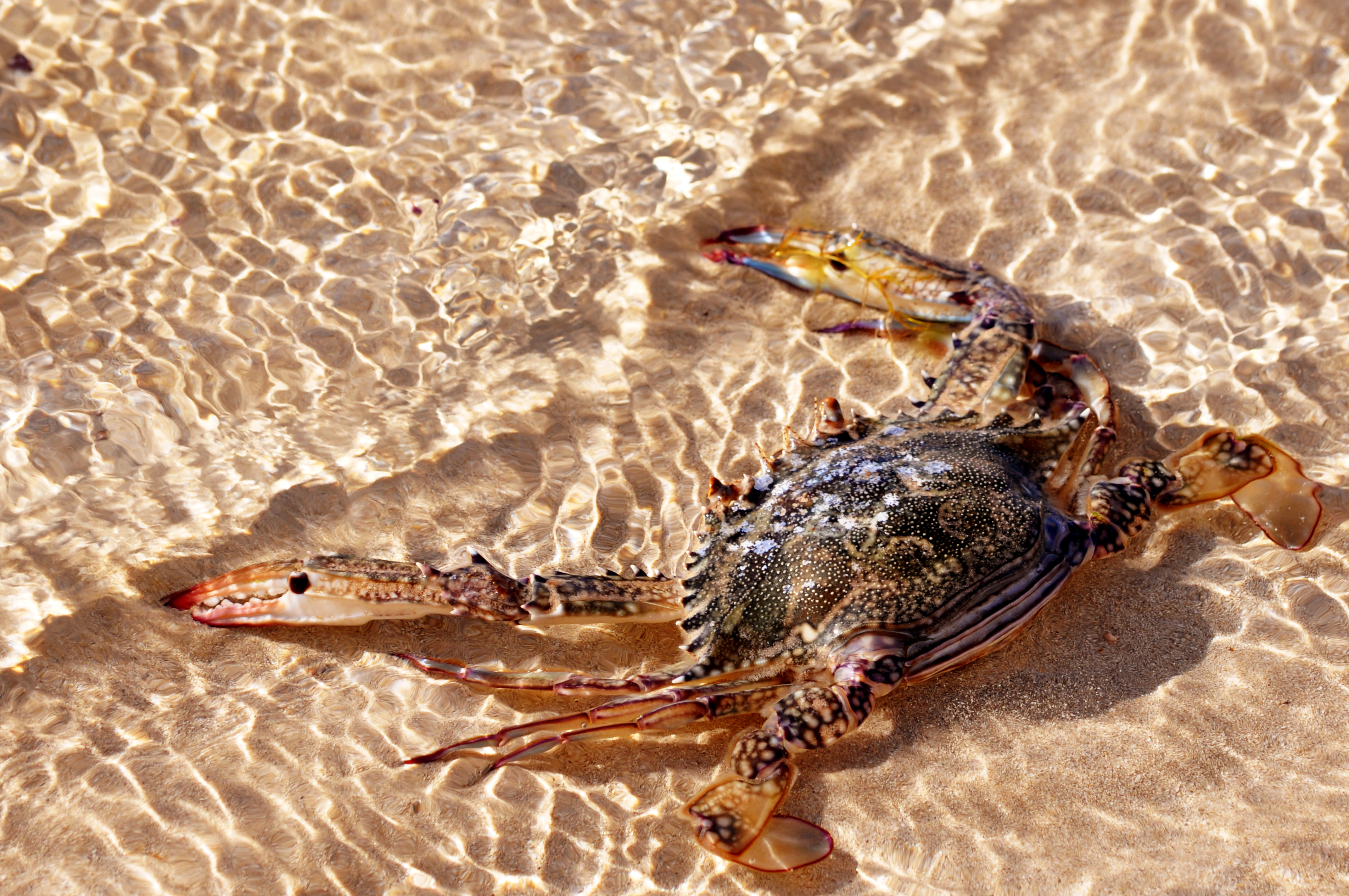 Motionless Crab