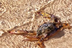 Motionless Crab