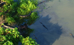 Crocs Eat Buffalo
