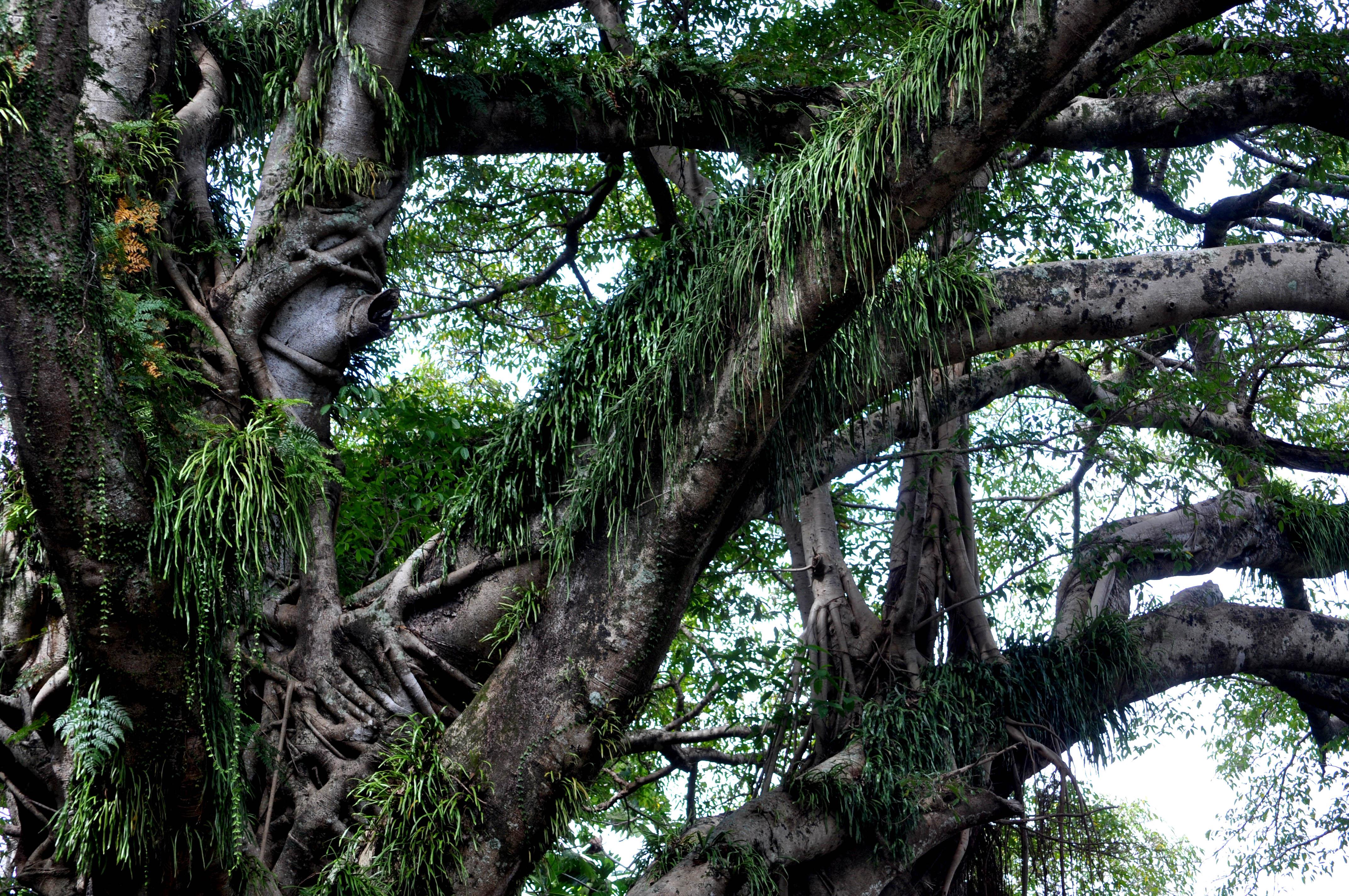 Tanna Tree Foliage
