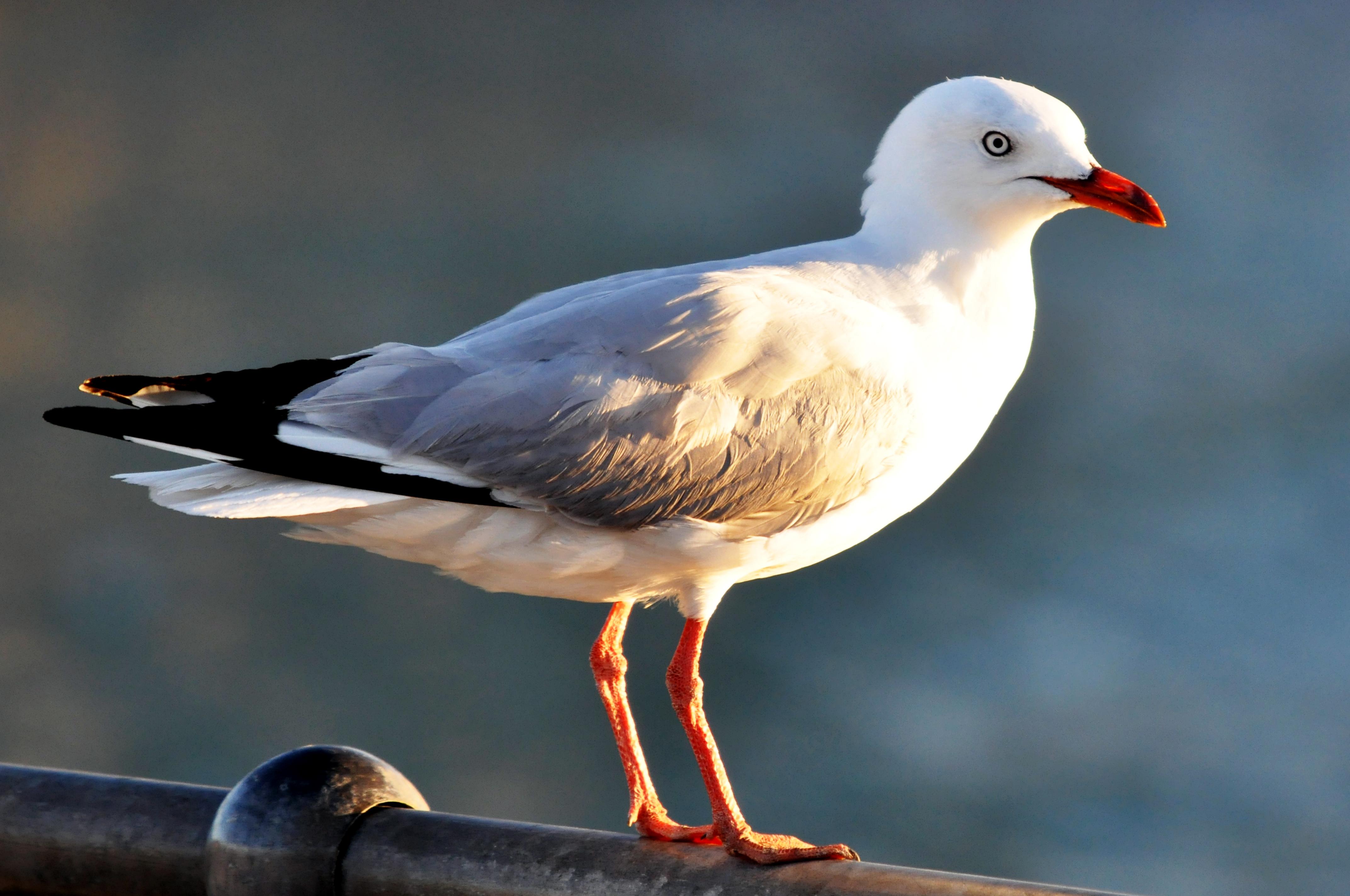 Cunning Seagulls