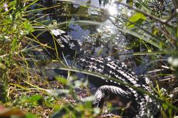 Everglades alligators