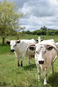 White Park cows