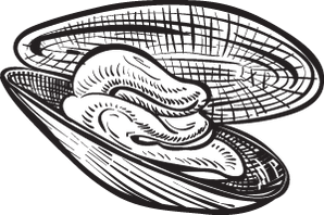 clam illustration