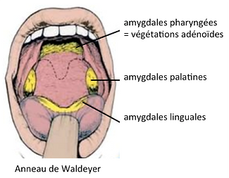 Anatomie des amygdales