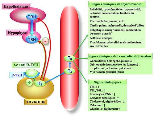 La cause de la maladie de Basedow: les anticorps anti récepteurs à la TSH