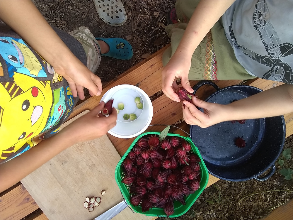 Children help process drought-tolerant roselle because it's fun