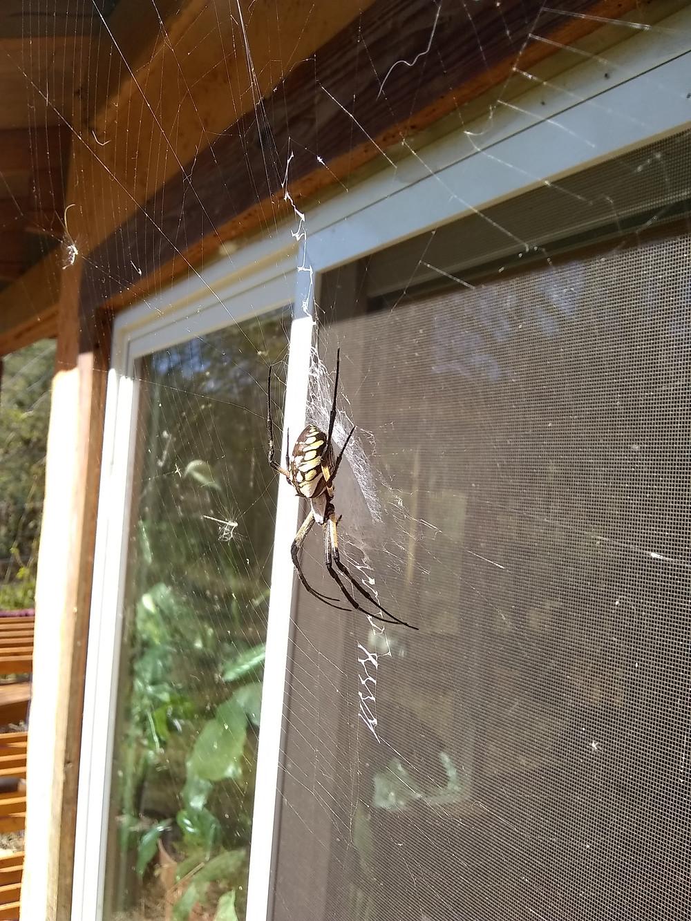 A garden spider provides free pest control