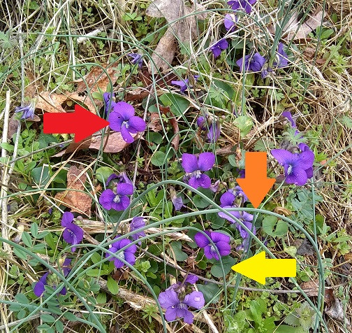 wild violets and spring onion