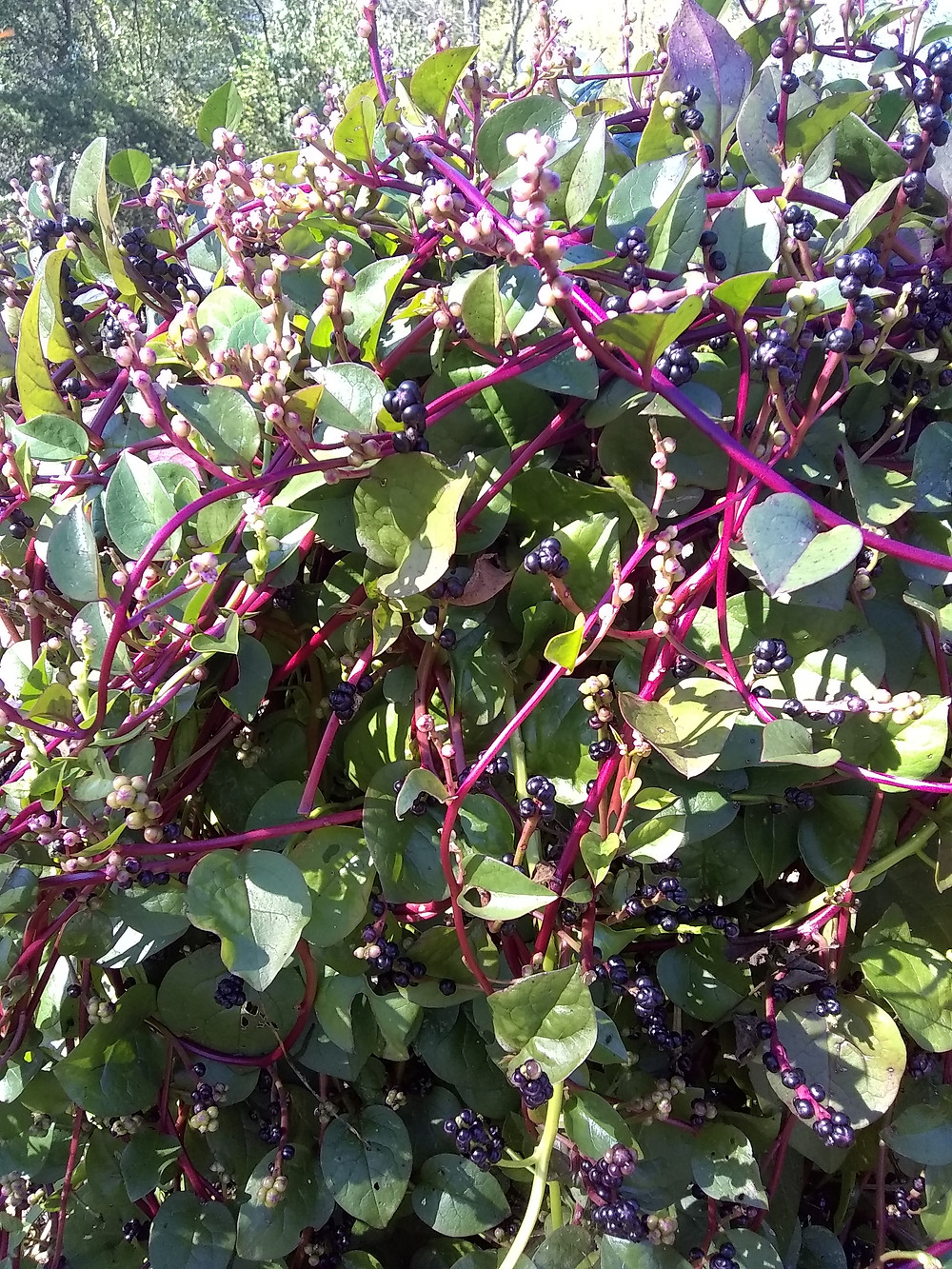 Malabar spinach is a hearty, heat- and drought-tolerant green