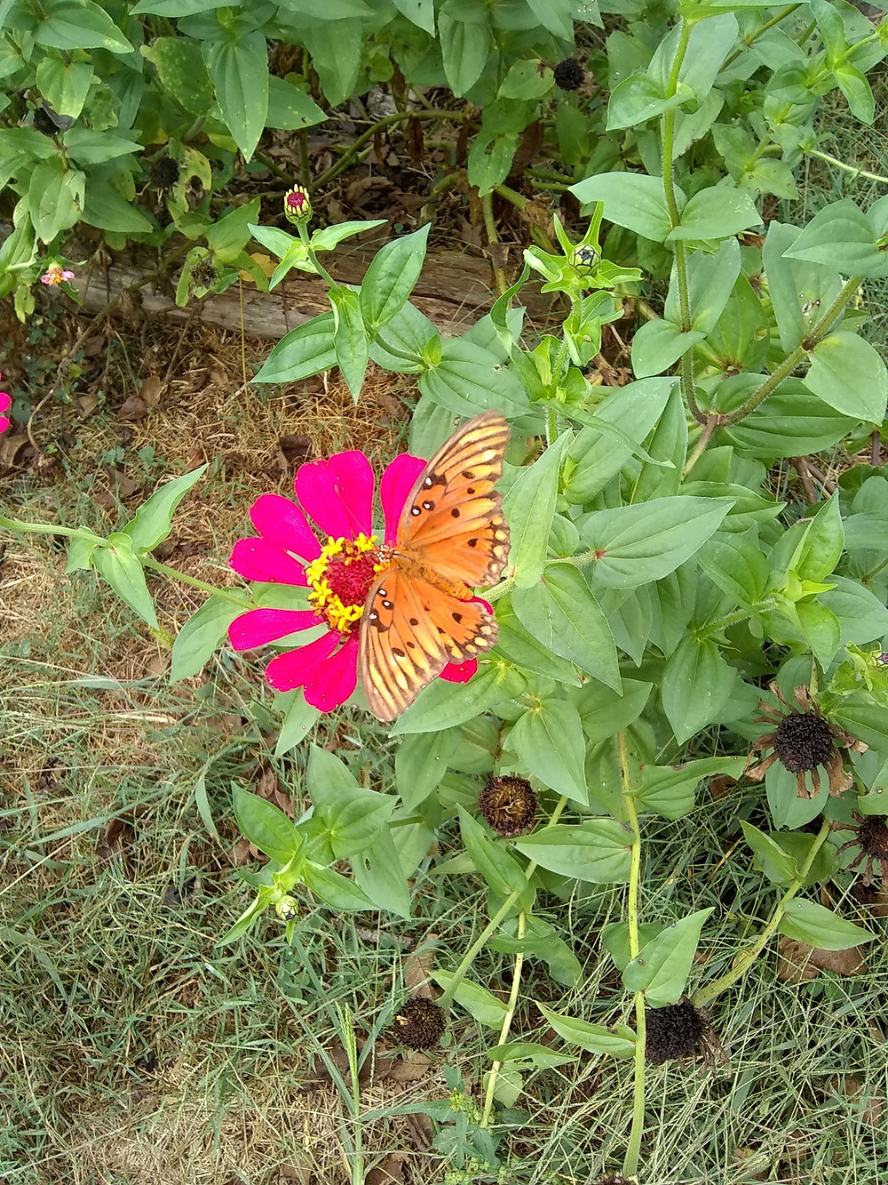 Butterfly pollinating a zinnia
