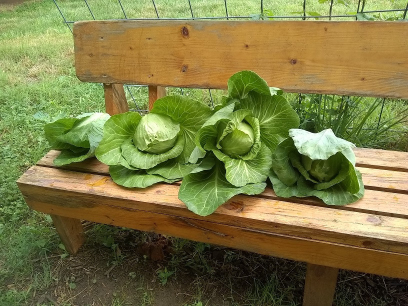 Home grown cabbage on a bench