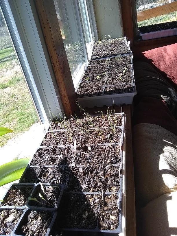 seedlings on a window sill