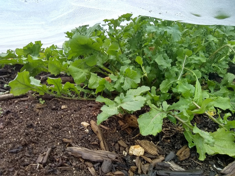 Arugula growing under row cover