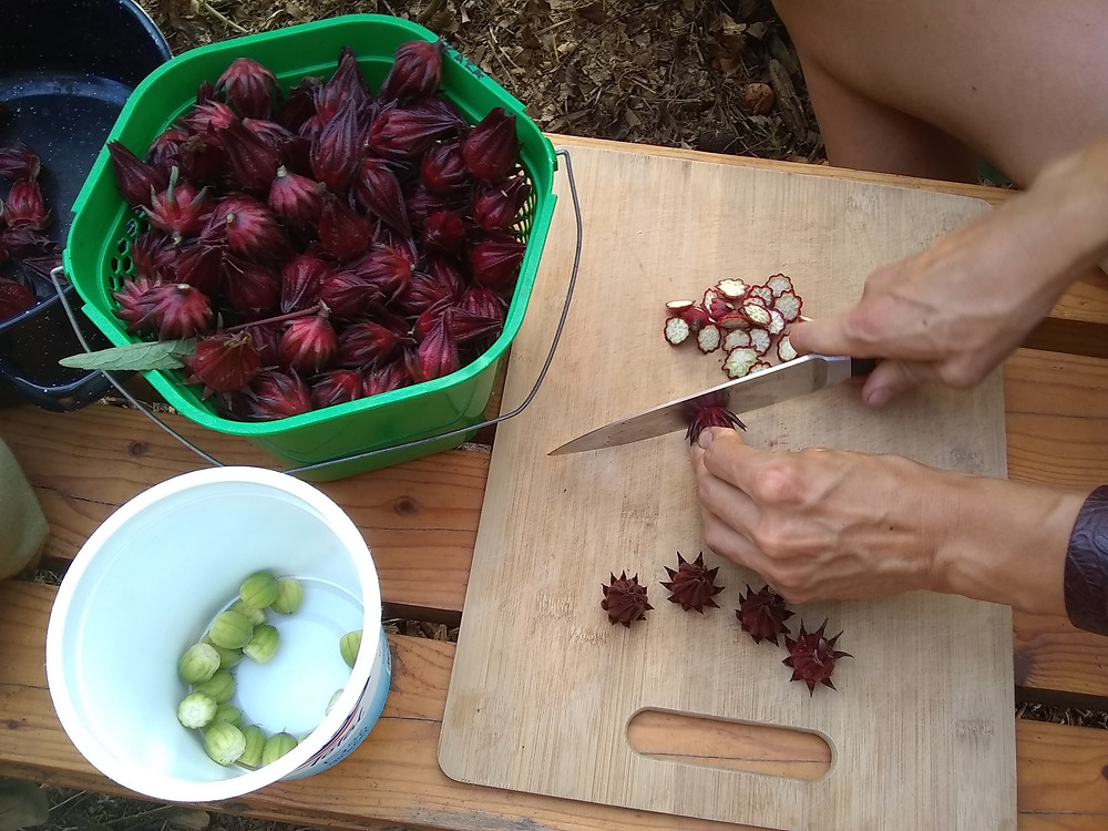 Preparing drought-tolerant roselle for drying by removing the calyx from the seed pod