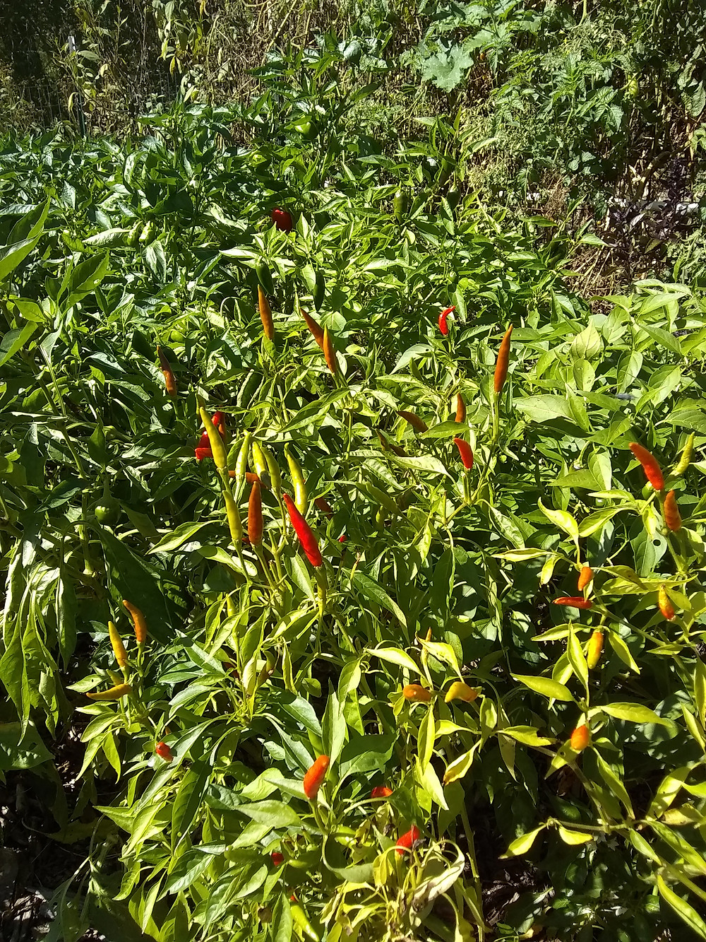 Chili peppers thriving in drought