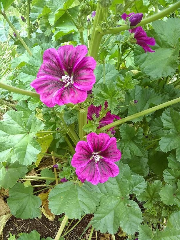 perennial malva flower