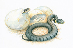 Jonge Ringslangen