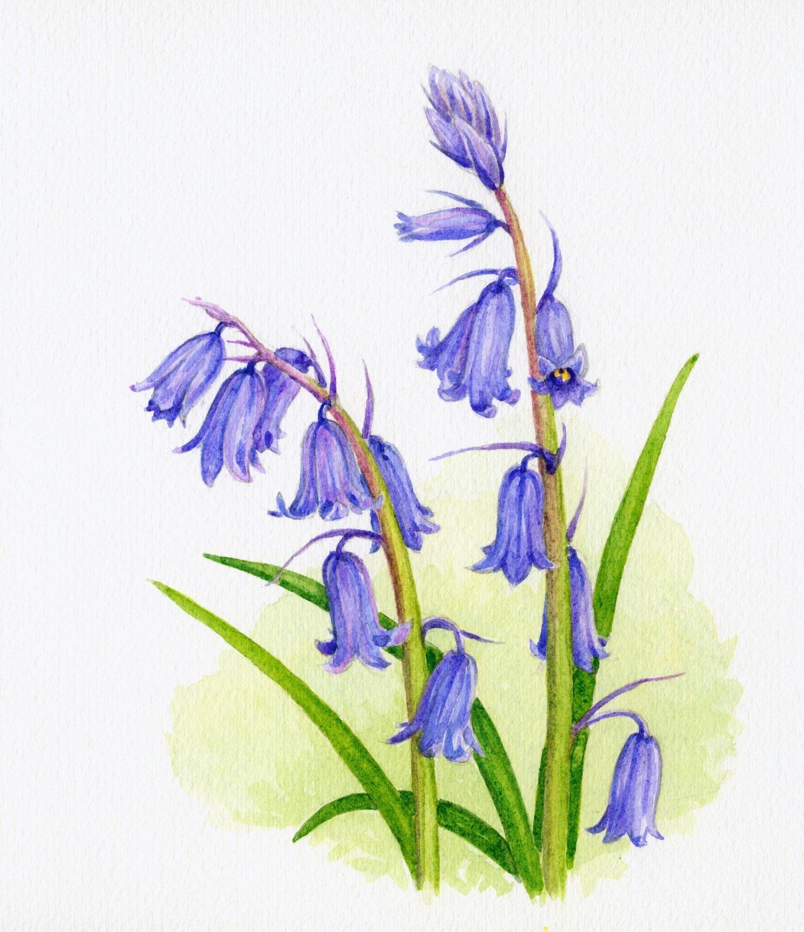 Wilde Hyacint (verkocht)