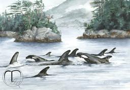 Broughton Archipelago Orca